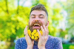 Bearded man with dandelion flowers in beard, close up. Hipster with bouquet of dandelions in beard. Man with beard and. Mustache on happy face, green background royalty free stock image