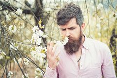 Bearded man near blooming cherry tree. Hipster sniffs cherry blossom. Man with beard and mustache on calm face near royalty free stock images