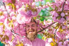Bearded man with stylish haircut with sakura flowers on background. Man with beard and mustache on smiling face near. Flowers. Hipster in pink shirt near branch royalty free stock photo