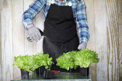 Bearded man takes care of the lettuce is grown in pots at home Royalty Free Stock Photo