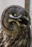 Bearded owl Strix nebulosa. Portrait Owl close-up looks at us Stock Photo