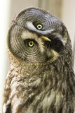 Bearded owl Strix nebulosa. Portrait Owl close-up looks at us Royalty Free Stock Photography