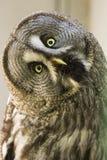 Bearded owl Strix nebulosa. Portrait Owl close-up looks at us Stock Image