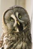 Bearded owl Strix nebulosa. Portrait Owl close-up looks at us Royalty Free Stock Photo