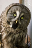 Bearded owl Strix nebulosa. Portrait Owl close-up looks at us Royalty Free Stock Photos