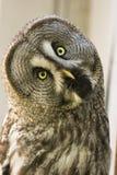 Bearded owl Strix nebulosa. Portrait Owl close-up looks at us Royalty Free Stock Image