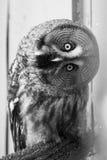 Bearded owl Strix nebulosa. Portrait Owl close-up looks at us Stock Photos