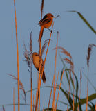 Bearded parrotbills in warm sunrise light. In the swamp Stock Photos