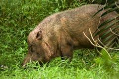 Bearded Pig Stock Photo
