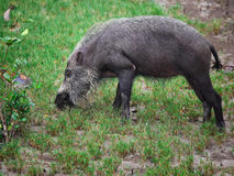 Bearded pig Stock Photos