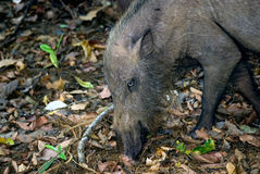 Bearded pig, Bako National Park, Borneo, Malaysia Royalty Free Stock Photography