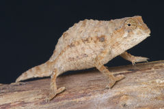 Bearded pygmy chameleon / Rieppeleon brevicaudatus Royalty Free Stock Photography