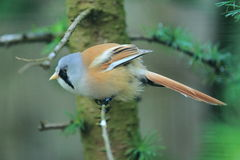 Bearded reedling Royalty Free Stock Images
