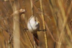Bearded reedling female on the splits, look right. Birdie on the splits, look left, autumn, golden leaves, a unique moment,Bearded reedling Stock Image