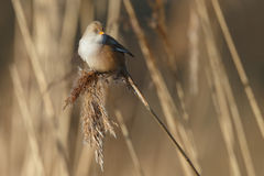 The bearded reedling (Panurus biarmicus) Stock Images