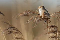 The bearded reedling (Panurus biarmicus) Royalty Free Stock Photography