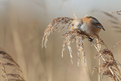 The bearded reedling (Panurus biarmicus) Royalty Free Stock Photo