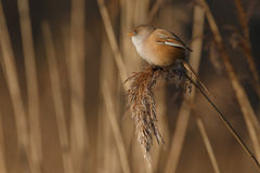The bearded reedling (Panurus biarmicus) Royalty Free Stock Images