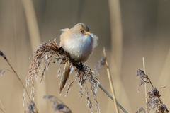 The bearded reedling (Panurus biarmicus) Stock Photography