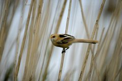 Bearded reedling, Panurus biarmicus Royalty Free Stock Photos