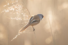 Bearded reedling (Panurus biarmicus) singing Royalty Free Stock Images