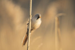 Bearded reedling (Panurus biarmicus) singing Stock Image