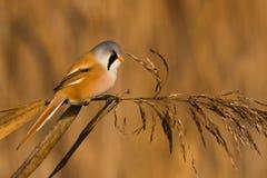 Bearded reedling in reeds Stock Photo