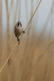 Bearded reedling in the reeds Royalty Free Stock Images