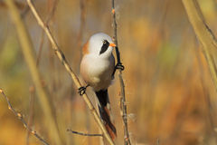 Bearded reedling on the splits, look right. Birdie on the splits, look left, autumn, golden leaves, a unique moment,Bearded reedling Stock Images