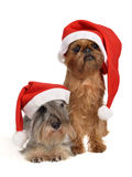 Bearded Santa dogs with red hats Stock Images