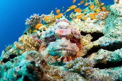 Bearded scorpionfish Stock Photography