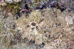 Bearded scorpionfish royalty free stock image