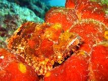 Bearded Scorpionfish Stock Photos