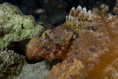 Bearded scorpionfish (scorpaenopsis barbata) Stock Photo