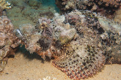 Bearded scorpionfish on the seabed Stock Photography
