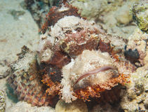 Bearded scorpionfish on the seabed. Bearded scorpionfish scorpaenopsis oxycephala on seabed at a tropical coral reef Royalty Free Stock Photography