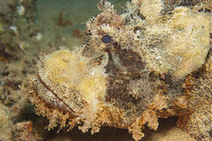 Bearded scorpionfish on the seabed Royalty Free Stock Photo