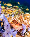 Bearded Scorpionfish Stock Photo