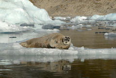 Bearded Seal stock photography