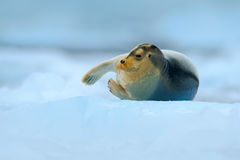 Bearded seal on blue and white ice in arctic Svalbard, with lift up fin. Wildlife Royalty Free Stock Images