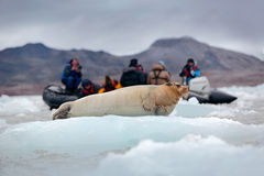 Bearded seal on blue and white ice in Arctic Svalbard, Norway, motor boat with tourists in the background Stock Image
