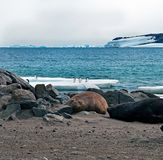 Bearded seal Erignathus barbatus cow rests on sea ice stock images