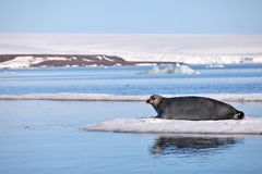 Bearded seal on fast ice Royalty Free Stock Images