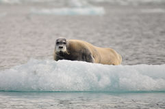 Bearded seal on an inceberg, North, Spitsbergen, Svalbard, Norway royalty free stock photos