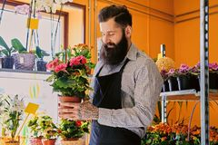 The bearded stylish flower seller holds pink roses in a market s. Hop royalty free stock photo