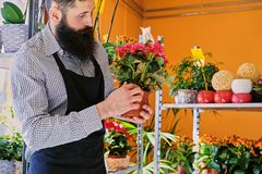 The bearded stylish flower seller holds pink roses in a market s. Hop royalty free stock image