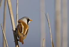 Bearded Tit. Is perching on the reed royalty free stock photography