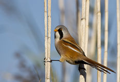 Bearded Tit. Is perching on the reed stock photo