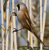Bearded Tit. Is perching on a straw royalty free stock photography