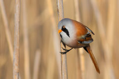 Bearded Tit Stock Images